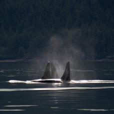 whalesrestoration